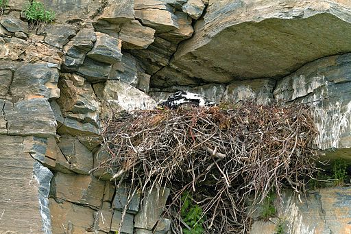 Golden Eagle Nest 9511502641 2