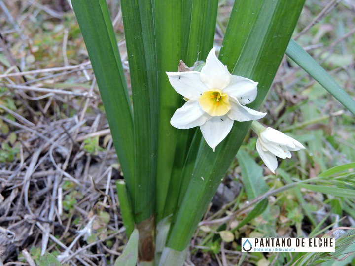 Narcisus tazetta2